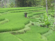 picture of green rice paddy Bali from Isa Gioia